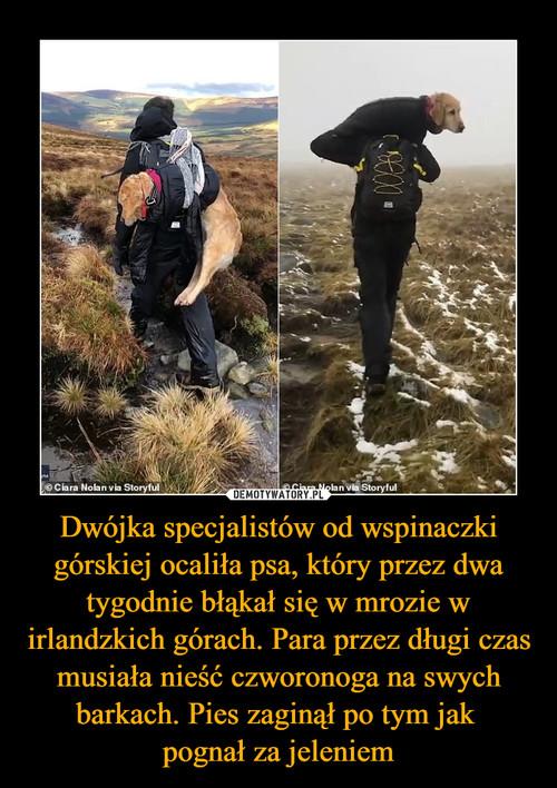 Dwójka specjalistów od wspinaczki górskiej ocaliła psa, który przez dwa tygodnie błąkał się w mrozie w irlandzkich górach. Para przez długi czas musiała nieść czworonoga na swych barkach. Pies zaginął po tym jak  pognał za jeleniem