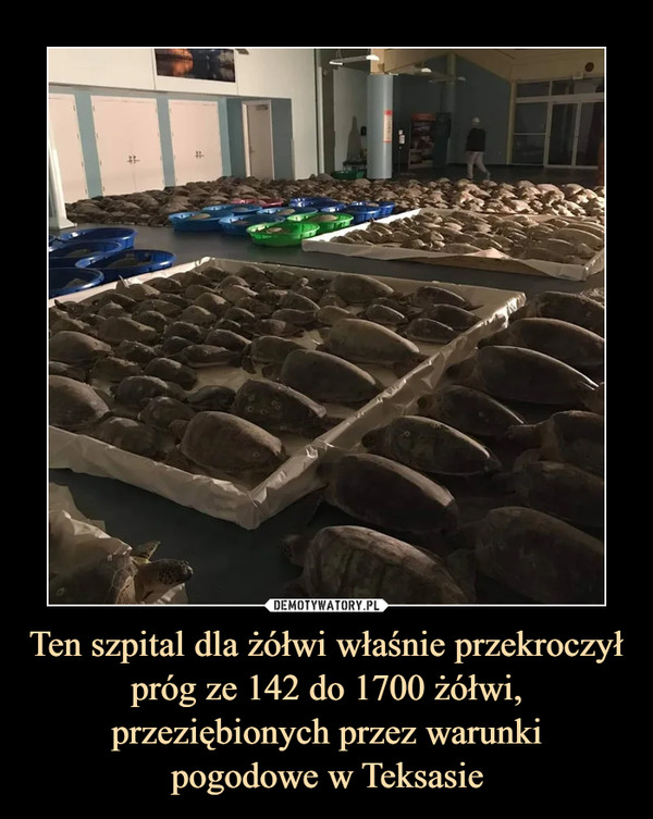 Ten szpital dla żółwi właśnie przekroczył próg ze 142 do 1700 żółwi, przeziębionych przez warunkipogodowe w Teksasie –