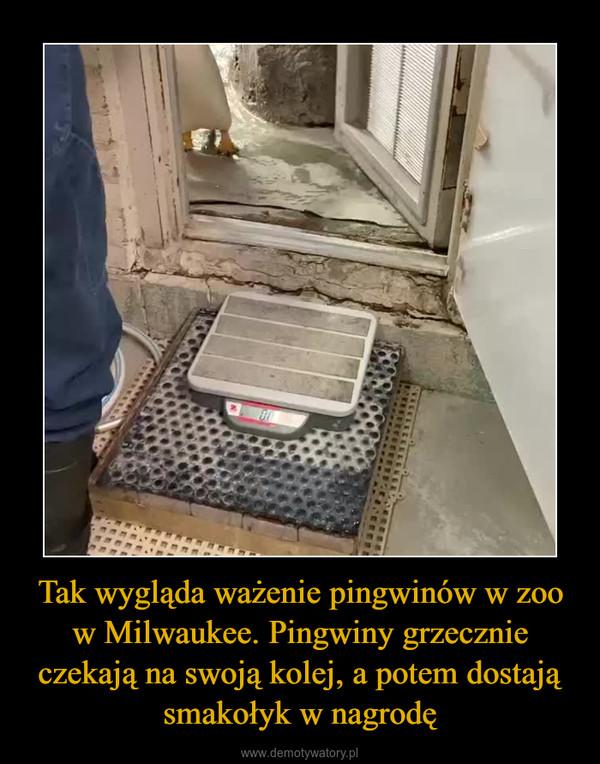 Tak wygląda ważenie pingwinów w zoo w Milwaukee. Pingwiny grzecznie czekają na swoją kolej, a potem dostają smakołyk w nagrodę –