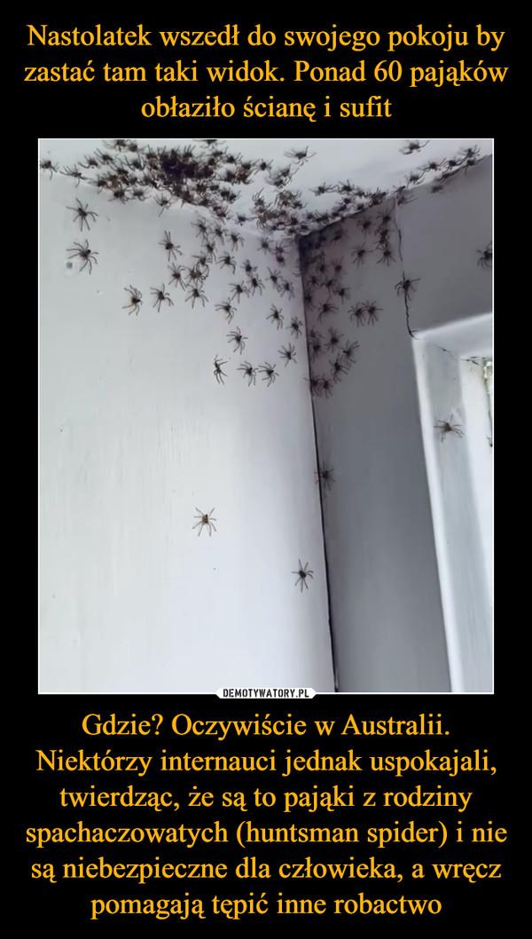 Gdzie? Oczywiście w Australii. Niektórzy internauci jednak uspokajali, twierdząc, że są to pająki z rodziny spachaczowatych (huntsman spider) i nie są niebezpieczne dla człowieka, a wręcz pomagają tępić inne robactwo –