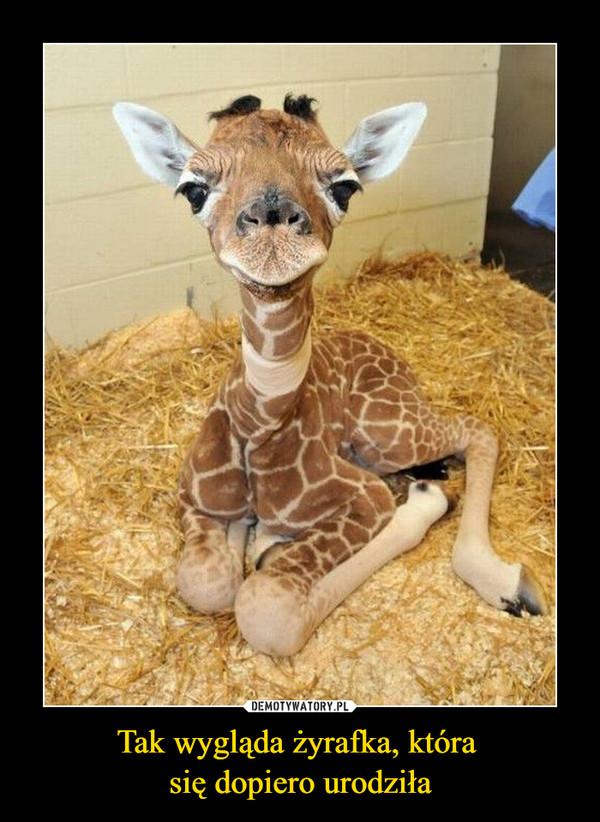 Tak wygląda żyrafka, która się dopiero urodziła –