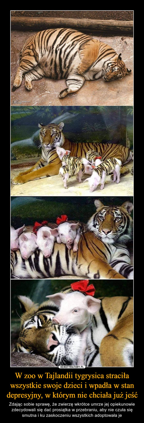 W zoo w Tajlandii tygrysica straciła wszystkie swoje dzieci i wpadła w stan depresyjny, w którym nie chciała już jeść