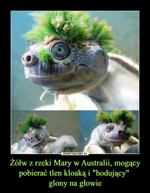 """Żółw z rzeki Mary w Australii, mogący pobierać tlen kloaką i """"hodujący""""  glony na głowie"""