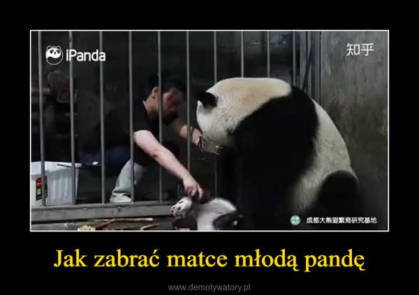 Jak zabrać matce młodą pandę –