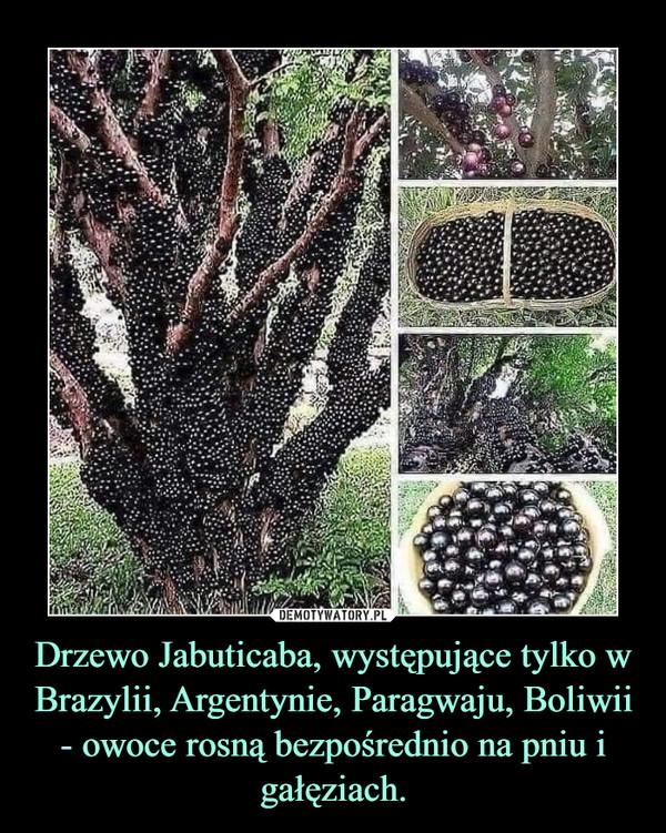 Drzewo Jabuticaba, występujące tylko w Brazylii, Argentynie, Paragwaju, Boliwii - owoce rosną bezpośrednio na pniu i gałęziach. –