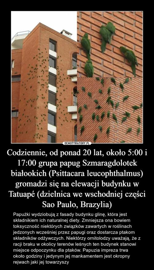 Codziennie, od ponad 20 lat, około 5:00 i 17:00 grupa papug Szmaragdolotek białookich (Psittacara leucophthalmus) gromadzi się na elewacji budynku w Tatuapé (dzielnica we wschodniej części Sao Paulo, Brazylia)