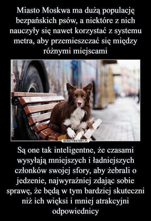 Miasto Moskwa ma dużą populację bezpańskich psów, a niektóre z nich nauczyły się nawet korzystać z systemu metra, aby przemieszczać się między różnymi miejscami Są one tak inteligentne, że czasami wysyłają mniejszych i ładniejszych członków swojej sfory, aby żebrali o jedzenie, najwyraźniej zdając sobie sprawę, że będą w tym bardziej skuteczni niż ich więksi i mniej atrakcyjni odpowiednicy