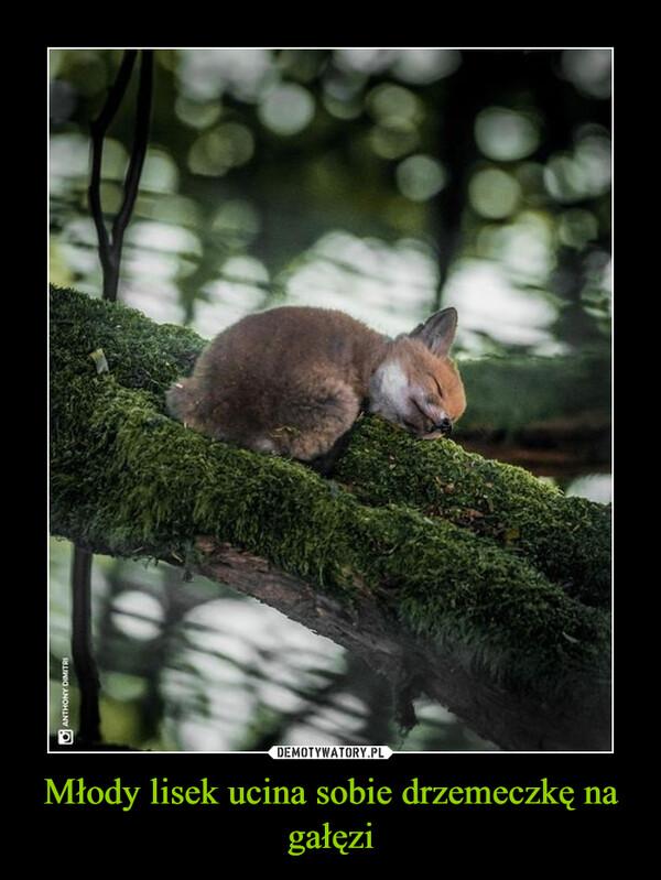 Młody lisek ucina sobie drzemeczkę na gałęzi –