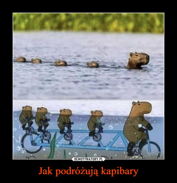 Jak podróżują kapibary –