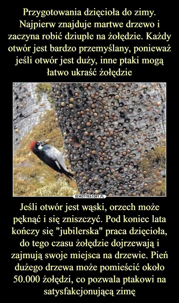"""Jeśli otwór jest wąski, orzech może pęknąć i się zniszczyć. Pod koniec lata kończy się """"jubilerska"""" praca dzięcioła, do tego czasu żołędzie dojrzewają i zajmują swoje miejsca na drzewie. Pień dużego drzewa może pomieścić około 50.000 żołędzi, co pozwala ptakowi na satysfakcjonującą zimę –"""